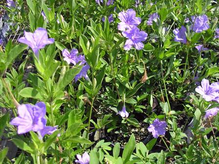 No Petunias Were Harmed In >> Landscaping With Florida Native Plants Blog Archive Pineland