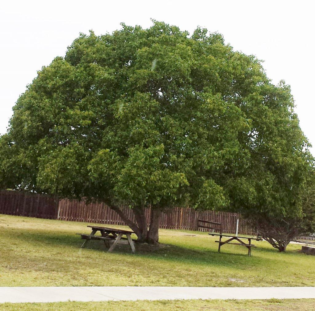Short Leaf Fig